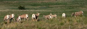 Bighorn Sheep Flock 06