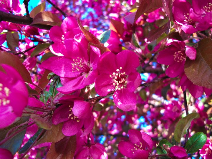 Pretty in Fuchsia - Dawn Siegler
