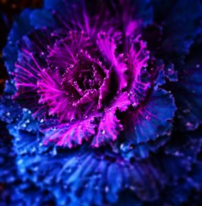Beauty of Ornamental Cabbage