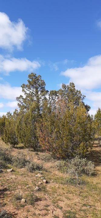 Native pines - Wyverntales