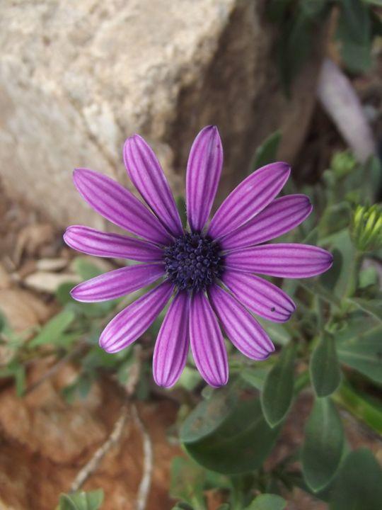 Purple African Daisy - Wyverntales