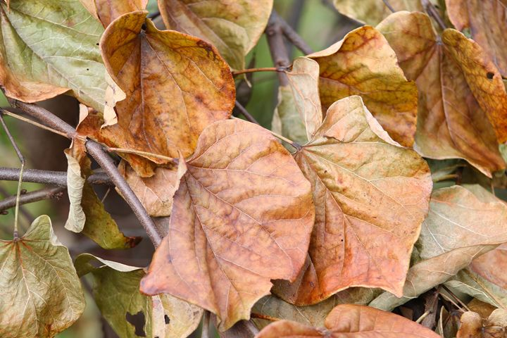 Naturally Faded Leaves - Amanda Pawlicki