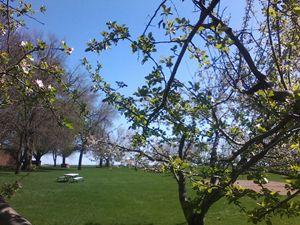 Apple Blossoms - Pennie Dae