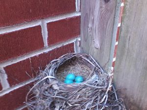 Robin's Eggs 2