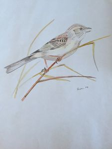 Brewer's Sparrow - Heavenly Talents
