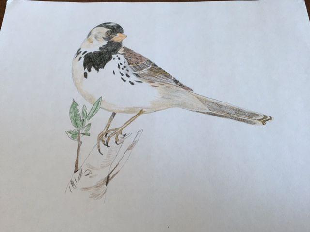 Harris Sparrow - Heavenly Talents