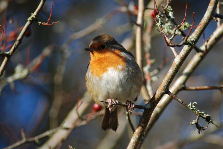 Winter Robin - John Coyle
