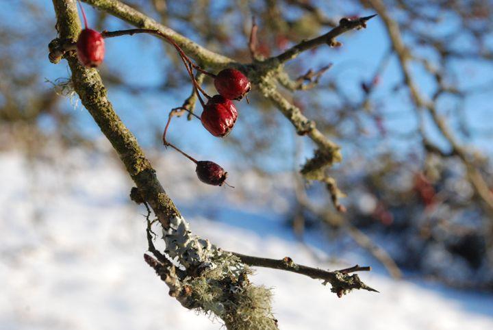 Berrys on a tree - John Coyle