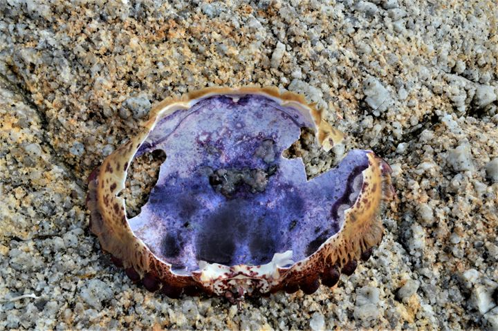 Purple Shell - olivetree