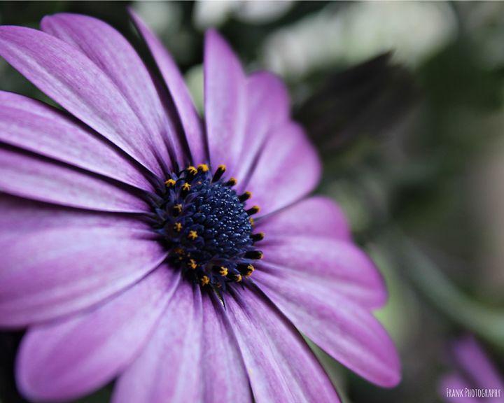 Purple Osteopermum - Frank Family Art