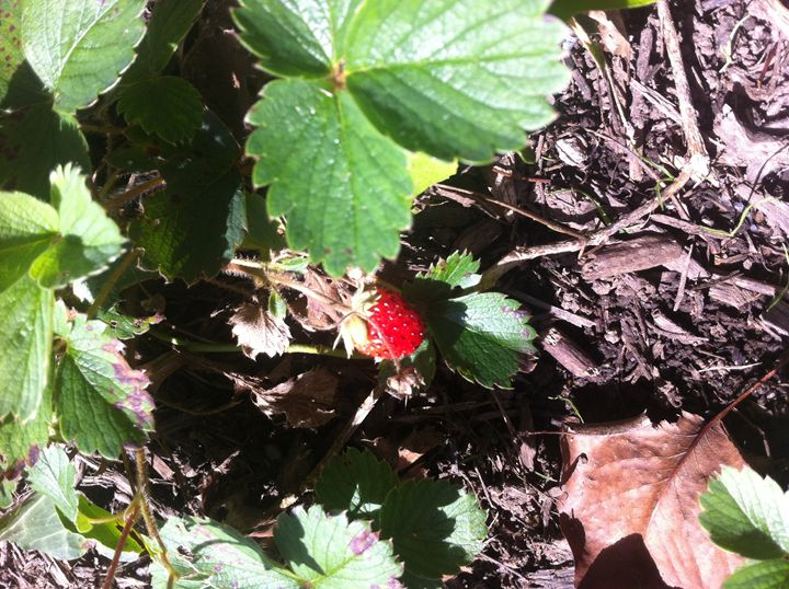 Strawberry plant 1 - Eleni Luna