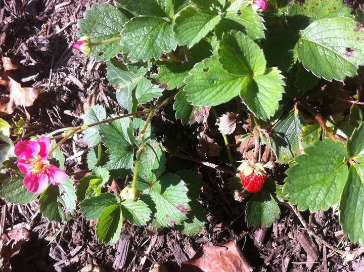 Strawberry Plant 2 - Eleni Luna