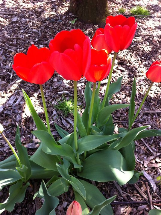 Tulips - Eleni Luna