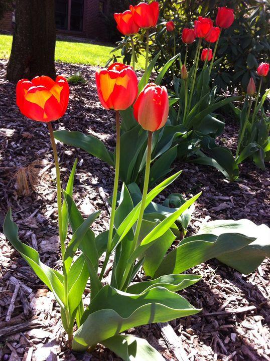 Tulips I - Eleni Luna