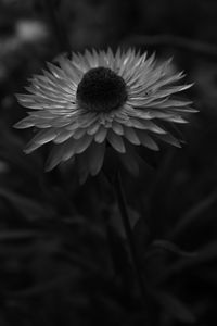 Strawflower B&W