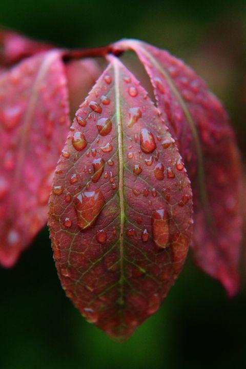 Red Leaf, Wet - BTrerice