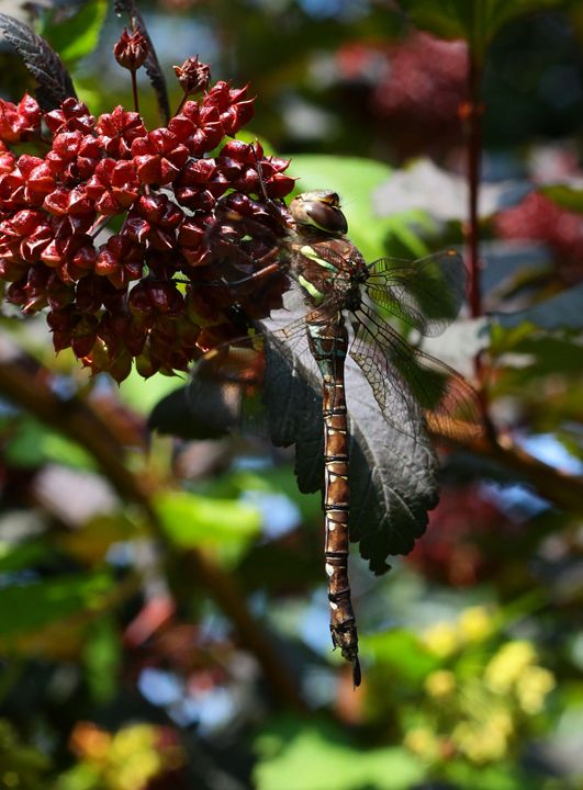 Dragonfly - BTrerice