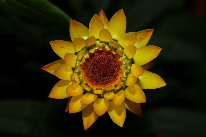 Yellow Strawflower - BTrerice