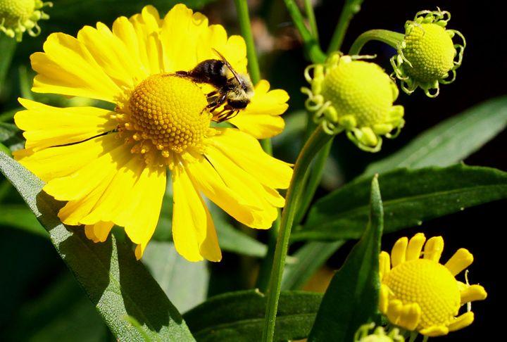Bee On Flower - BTrerice
