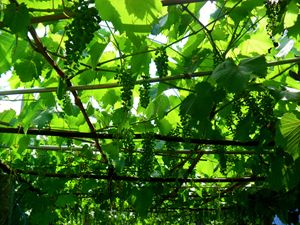 Moldova Grape Vines