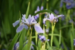 Iris Triumphant