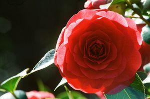 35mm rose