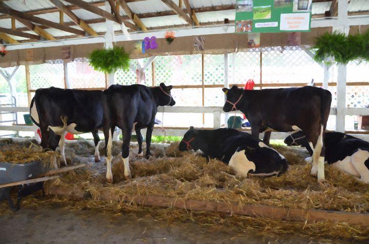 Black and white cow 2 - Lanjee