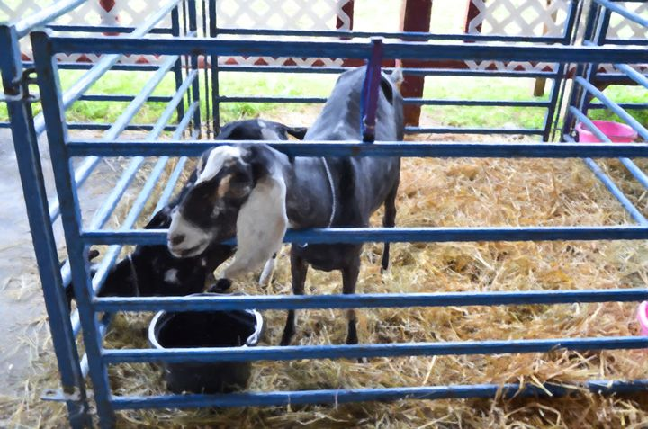 Cute Goat - Lanjee