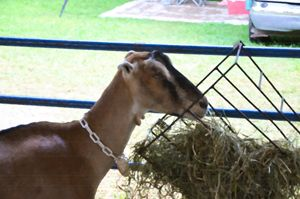 Young goat eating dry straw - Lanjee