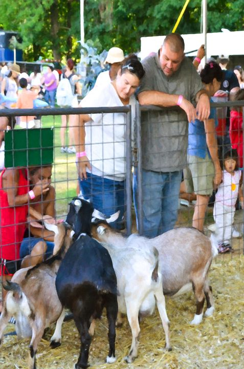 Goats At County Fair 1 - Lanjee