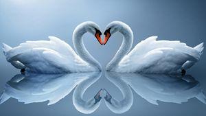 Couple swan sweet