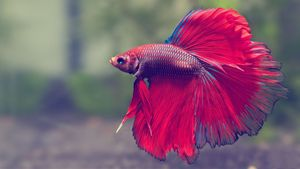 Fish Red Underwater Tropical