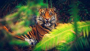 Cats Asian Tiger Oriental Nature