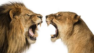 King of animal lion fierce lioness
