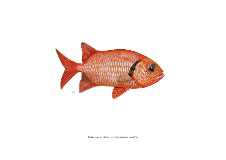 Crimson Soldierfish - Mike Backman