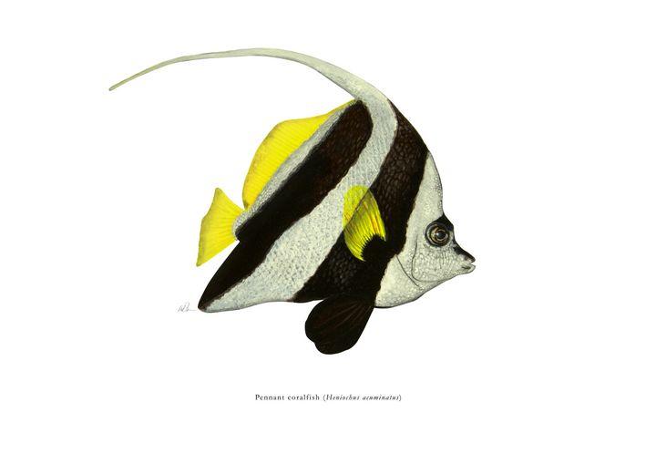 Pennant coralfish - Mike Backman