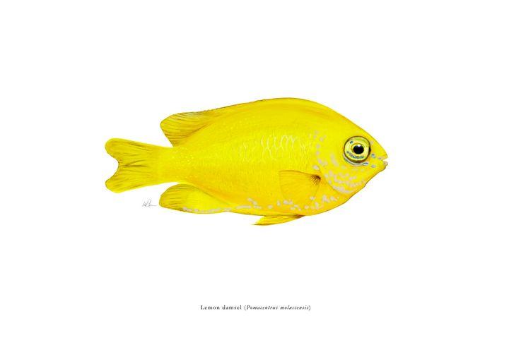 Lemon damsel - Mike Backman