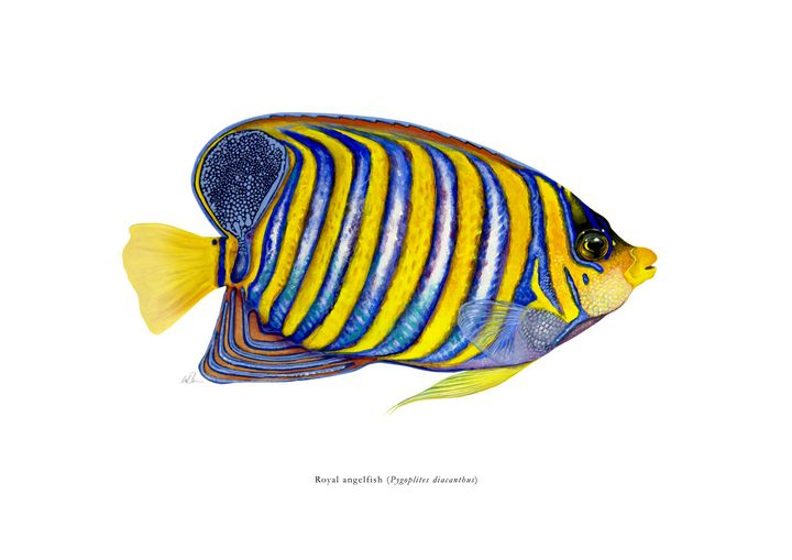Royal angelfish - Mike Backman
