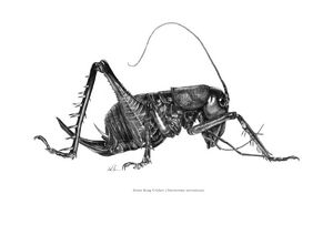 Giant King Cricket - Mike Backman
