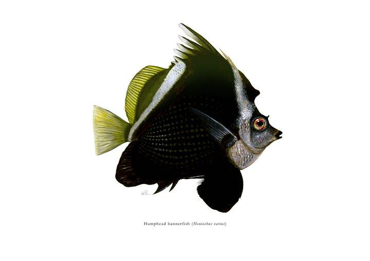 Humphead bannerfish - Mike Backman