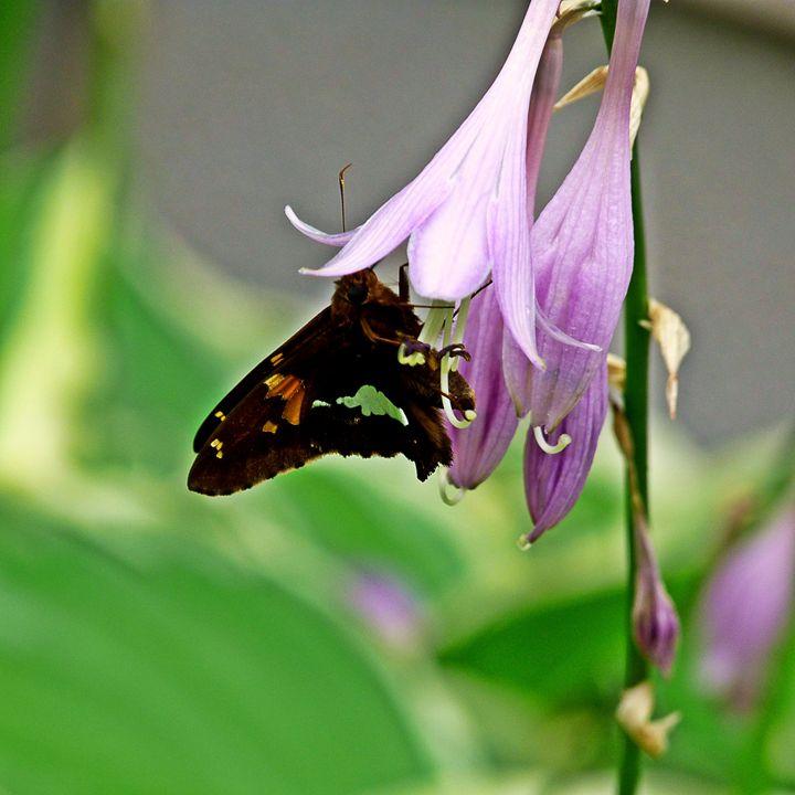 Moth on a Hosta - Bella Blooms Artistry