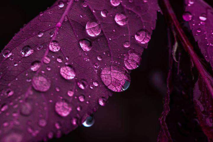 Purple Drops -  Mhergin20