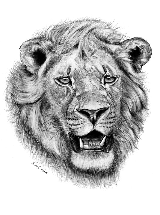 African Lion - Incredible Drawings