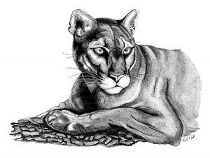 Mountain Lion - Incredible Drawings