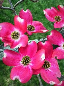 Pink dogwood blooms