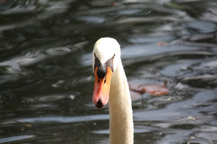 Swan - Phoenix Photos