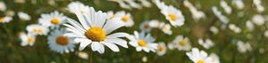 Daisies - Gem Photography
