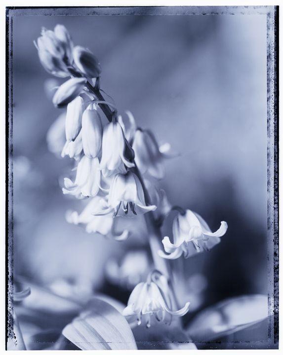 bluebells - Gem Photography