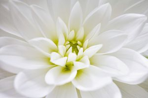 Dahlia - Gem Photography