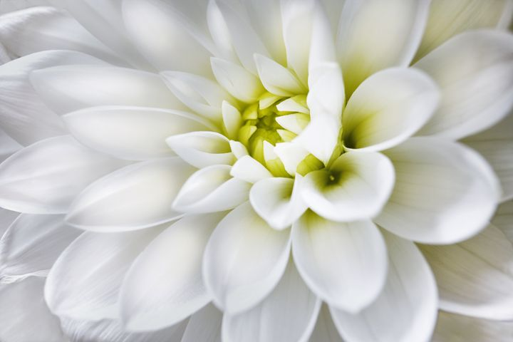 White Dahlia - Gem Photography